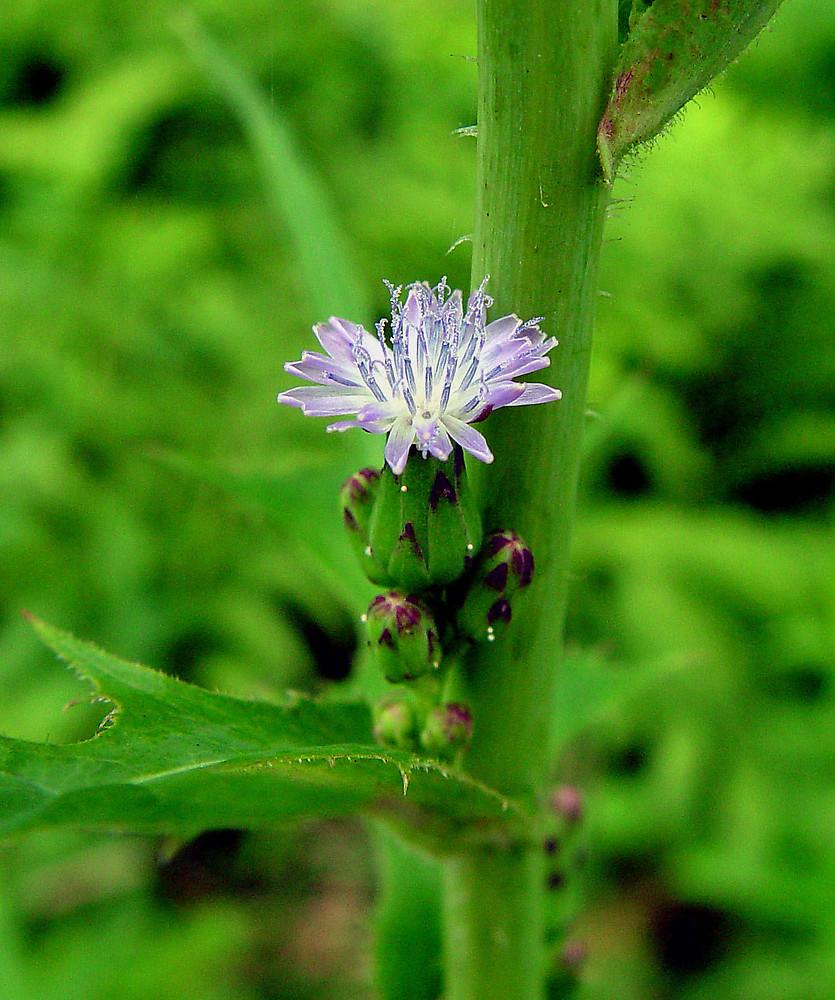 Lactuca Biennis Tall Blue Lettuce Go Botany