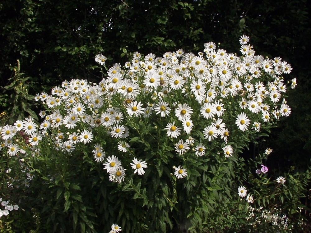 Leucanthemella Serotina Giant Daisy Go Botany