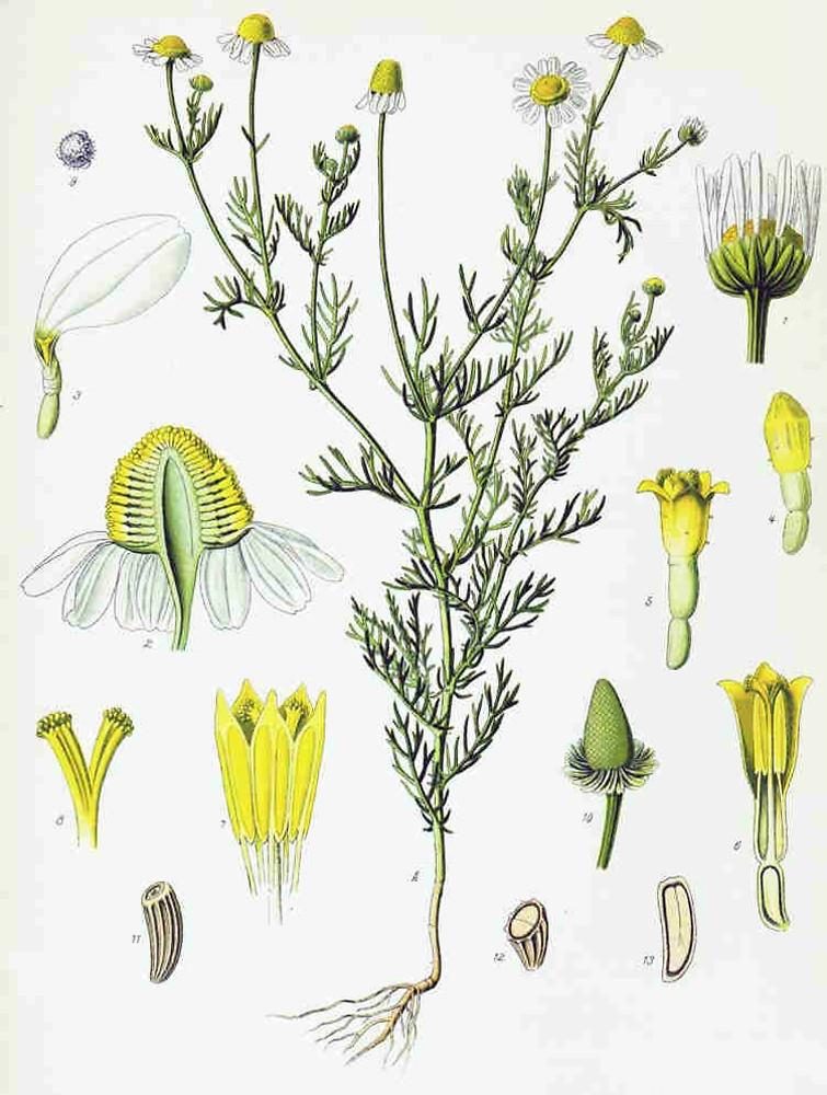 matricaria chamomilla wild chamomile go botany. Black Bedroom Furniture Sets. Home Design Ideas