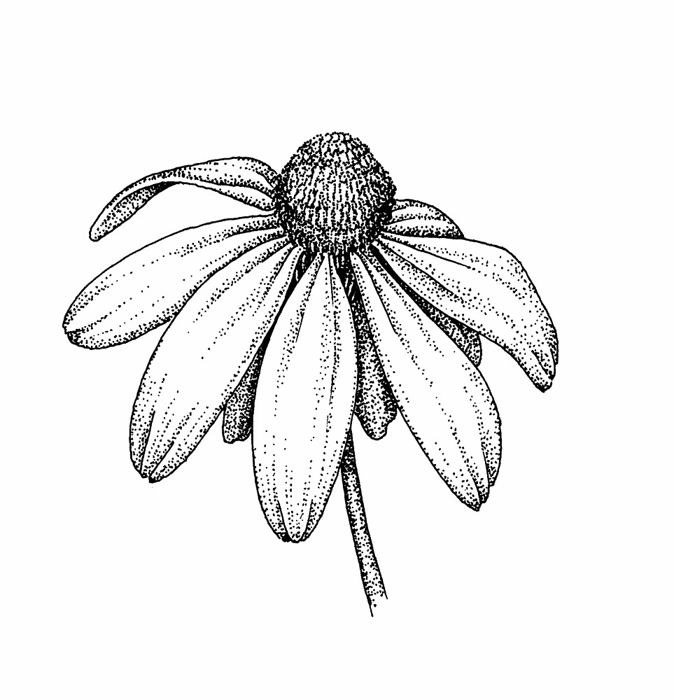 Aster Flower Line Drawing : Rudbeckia laciniata green headed coneflower go botany