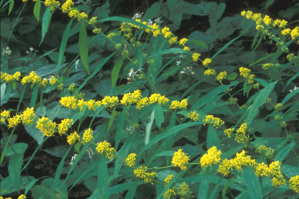 Prairie Moon Nursery :: Seeds :: Solidago caesia (Blue-stemmed ...