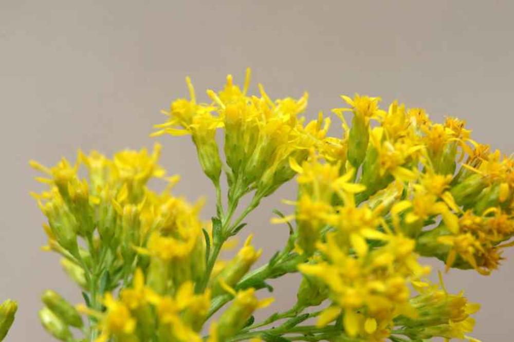 Solidago Uliginosa Bog Goldenrod Go Botany