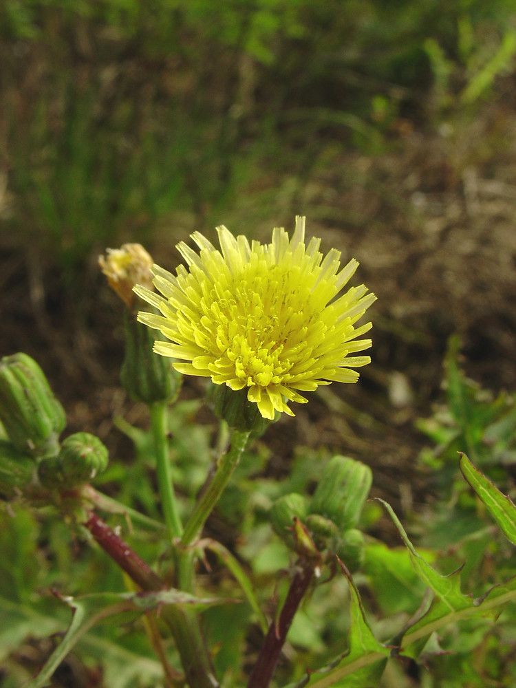Sonchus oleraceus common sow thistle go botany copyright 2018 cc by flowers sonchus oleraceus by glen mittelhauser copyright 2018 glen mittelhauser mightylinksfo