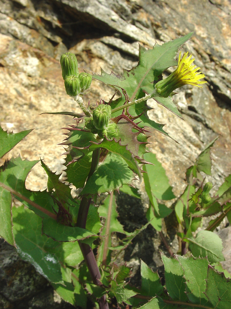 Details about  /Sow Thistle /'/'Sonchus Oleracea/'/' ~25 Top Quality Seeds EXTRA RARE Greek