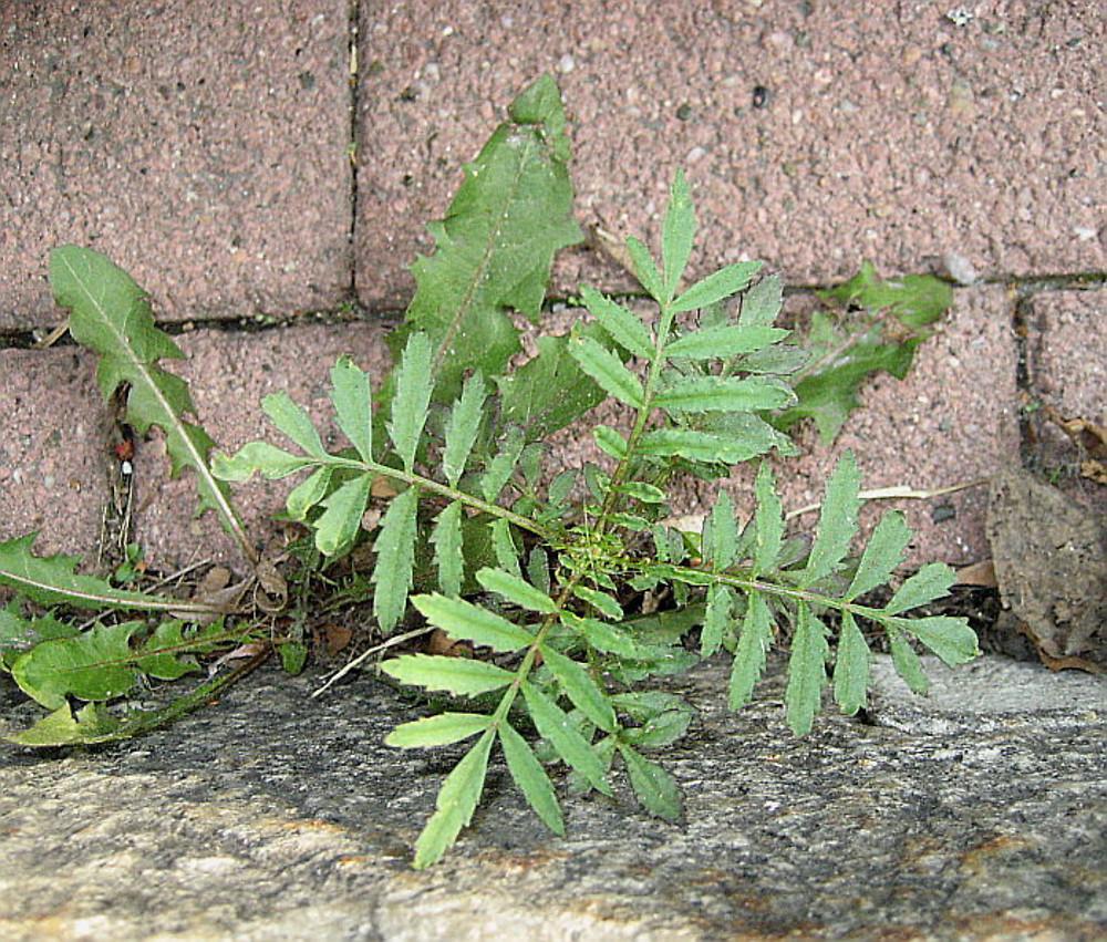 Tagetes patula (French marigold): Go Botany