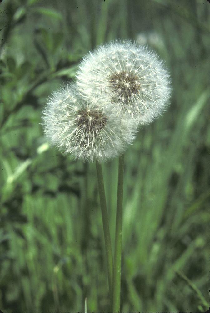 Taraxacum officinale common dandelion go botany fruits taraxacum officinale by john lynch copyright 2018 new england ccuart Image collections
