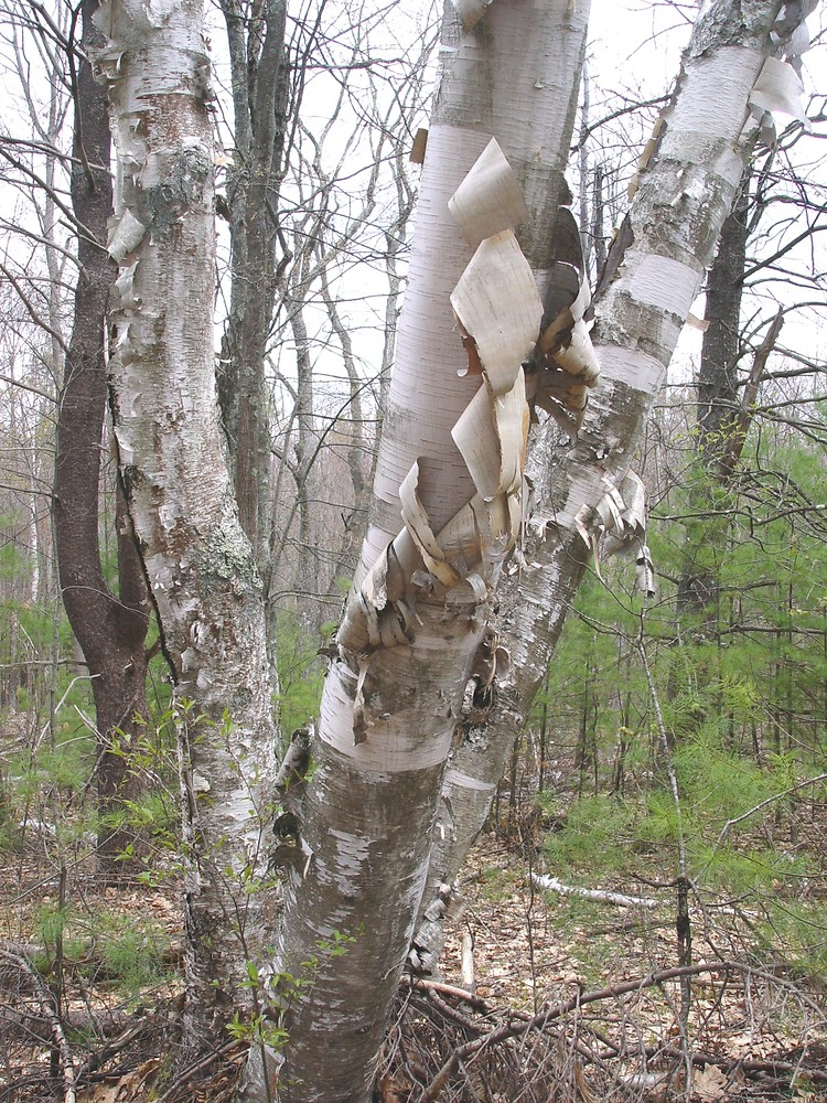 betula papyrifera  paper birch   go botany