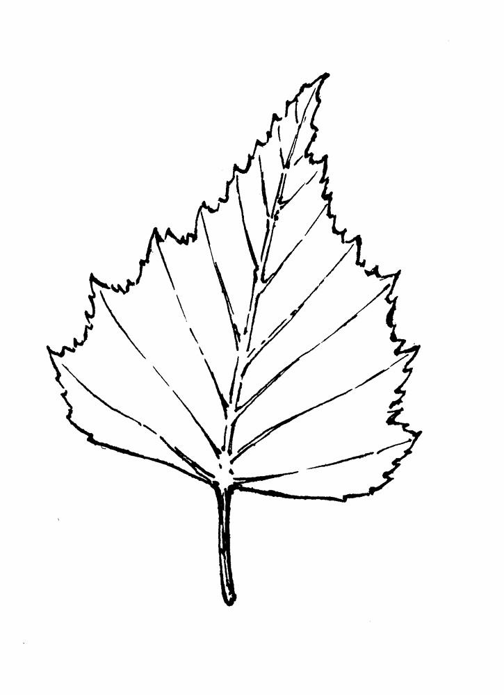 Betula populifolia (gray birch): Go Botany