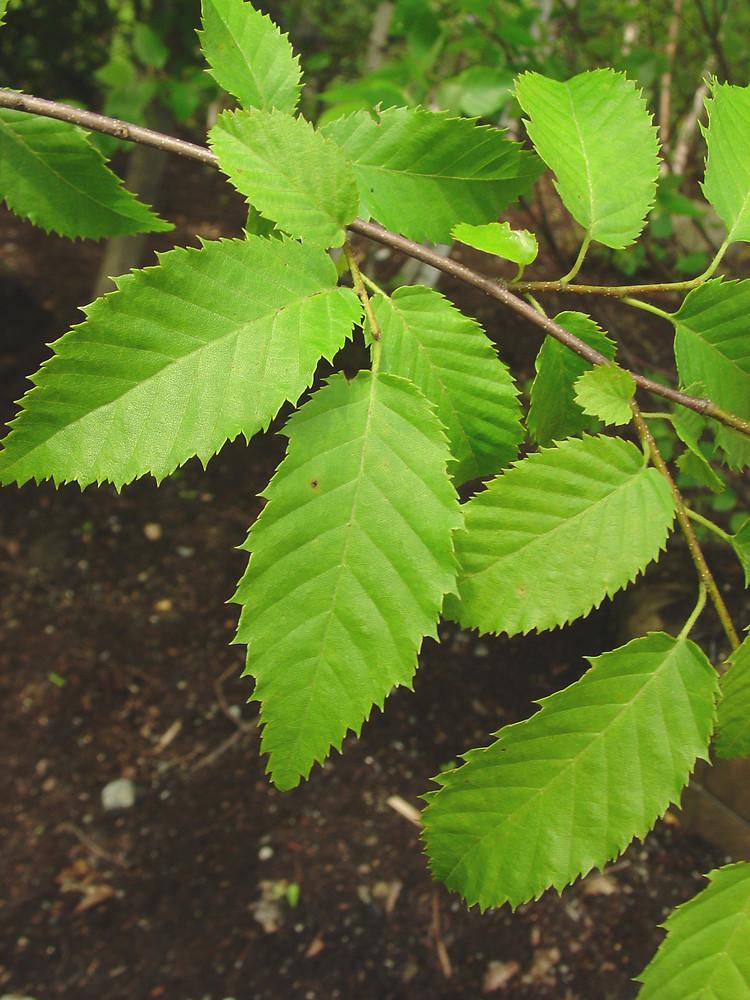 Carpinus caroliniana (American hornbeam): Go Botany