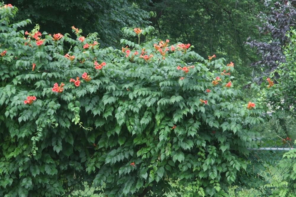 Campsis Radicans Trumpet Creeper Go Botany