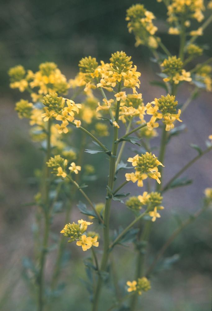 Barbarea vulgaris garden yellow rocket go botany copyright 2018 marilee lovit flowers barbarea vulgaris by adelaide pratt copyright 2018 new england mightylinksfo
