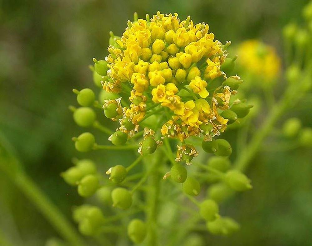 Neslia Paniculata Yellow Ball Mustard Go Botany