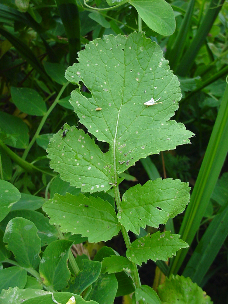 genus raphanus radish go botany