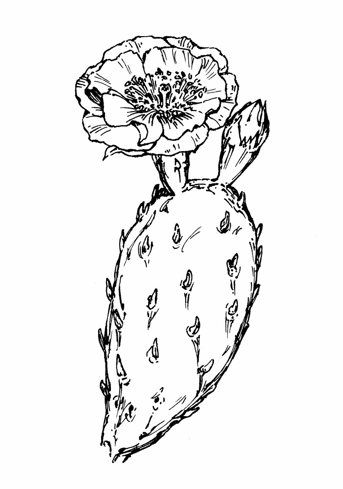 copyright 2017 new england flowers opuntia humifusa by gordon morrison copyright 2017 new england - Prickly Pear Cactus Coloring Page