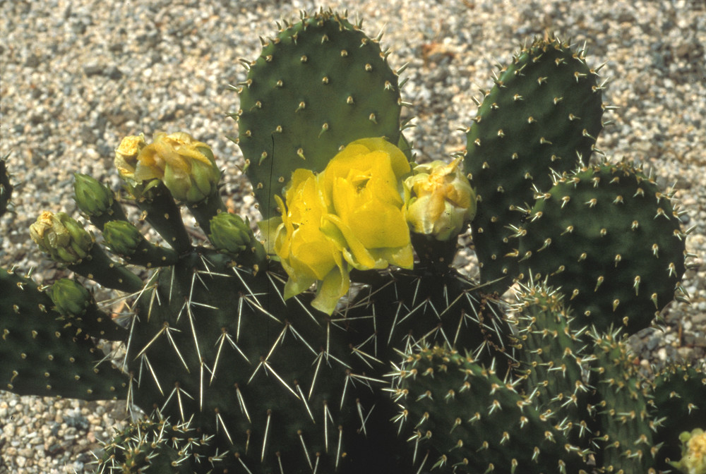 Opuntia humifusa eastern prickly pear go botany copyright 2018 william plant form opuntia humifusa by david heppert mightylinksfo