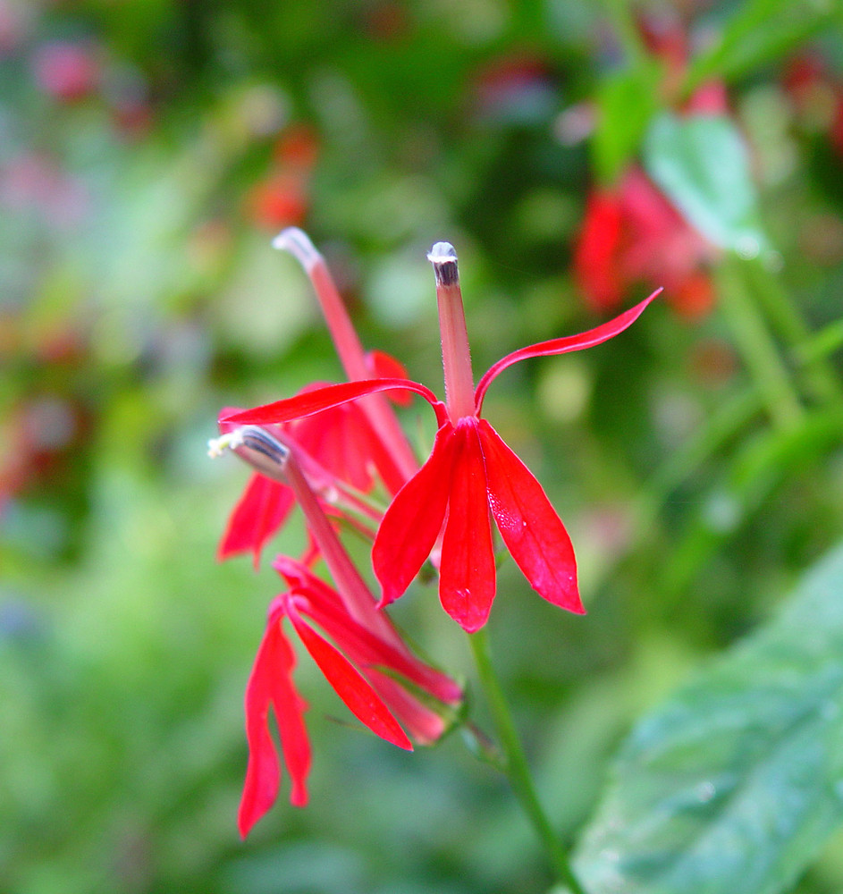 Lobelia Cardinalis Cardinal Flower Red Lobelia Go Botany