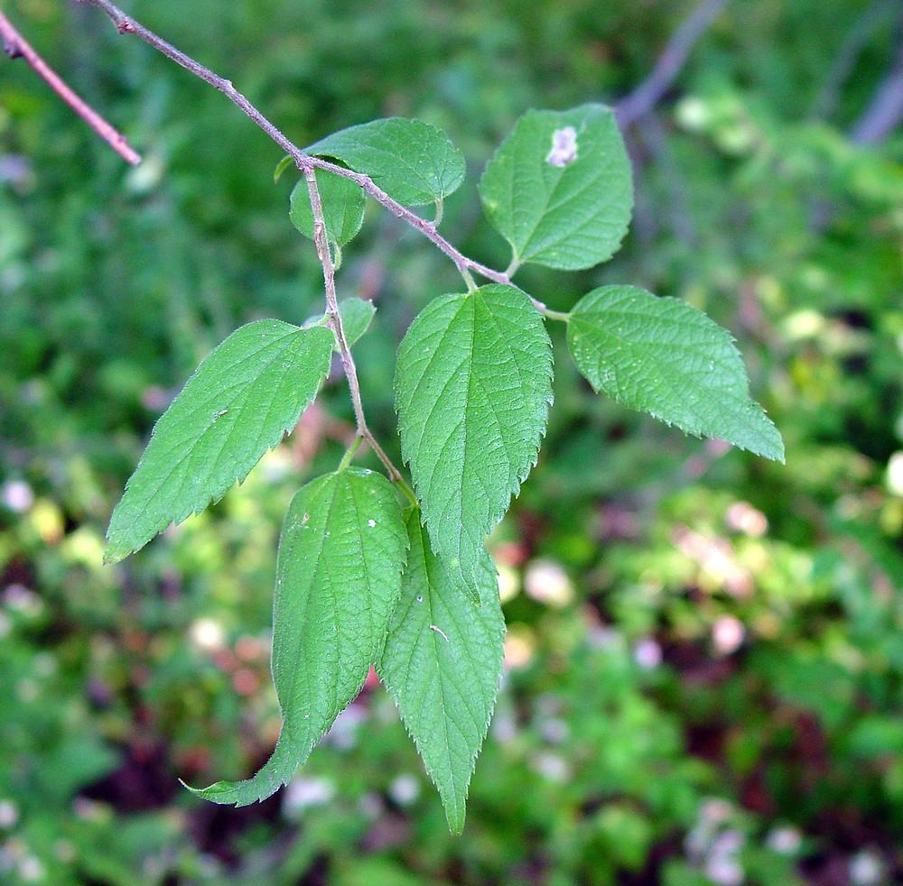 Celtis occidentalis (common hackberry): Go Botany