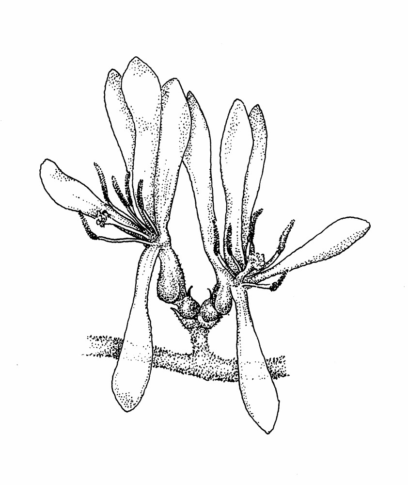 Honeysuckle Flower Line Drawing : Lonicera morrowii morrow s honeysuckle go botany