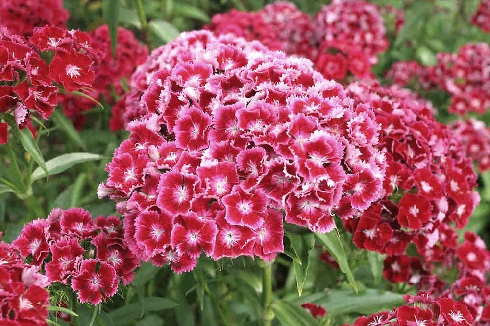 Dianthus barbatus (sweet William pink): Go Botany