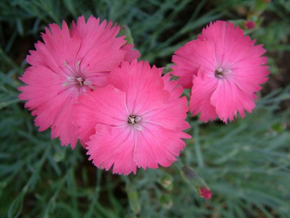 Dianthus plumarius (garden pink): Go Botany