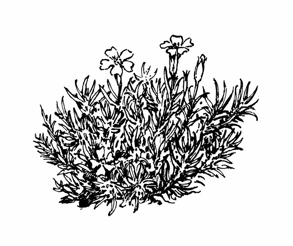 Silene Acaulis Moss Campion Go Botany