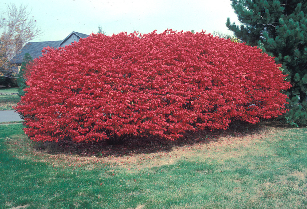 Euonymus alatus burning bush winged spindle tree go botany for Euonymus alatus