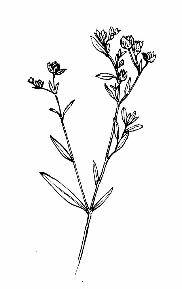 Botanical Flower Line Drawing : Crocanthemum bicknellii hoary frostweed go botany