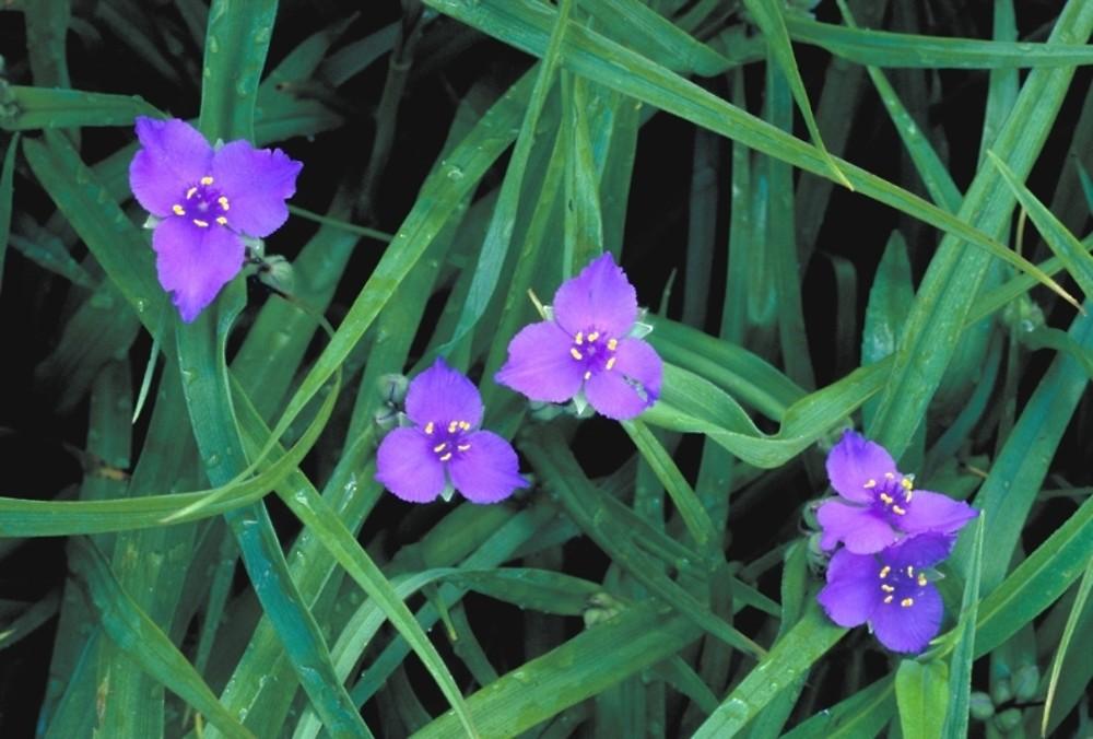 tradescantia virginiana virginia spiderwort go botany