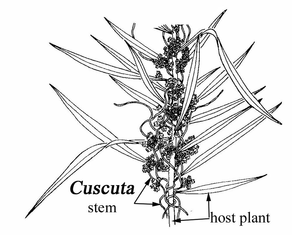 cuscuta campestris  field dodder   go botany