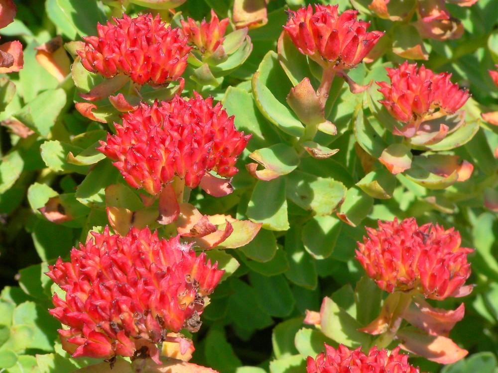 Rhodiola rosea (roseroot): Go Botany