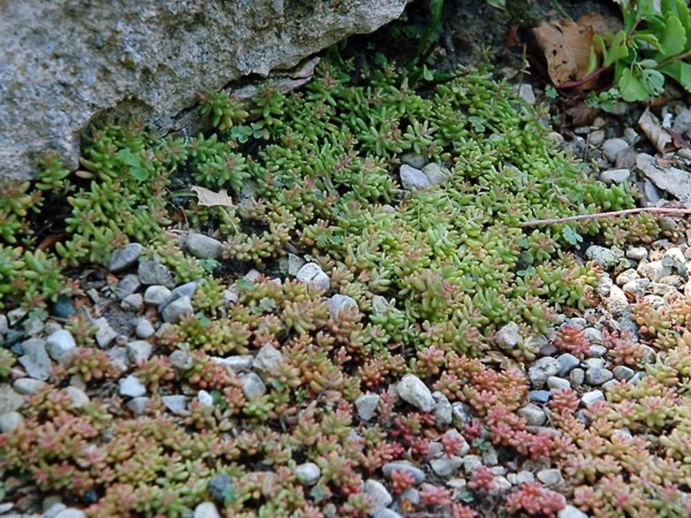 Sedum Album White Stonecrop Go Botany
