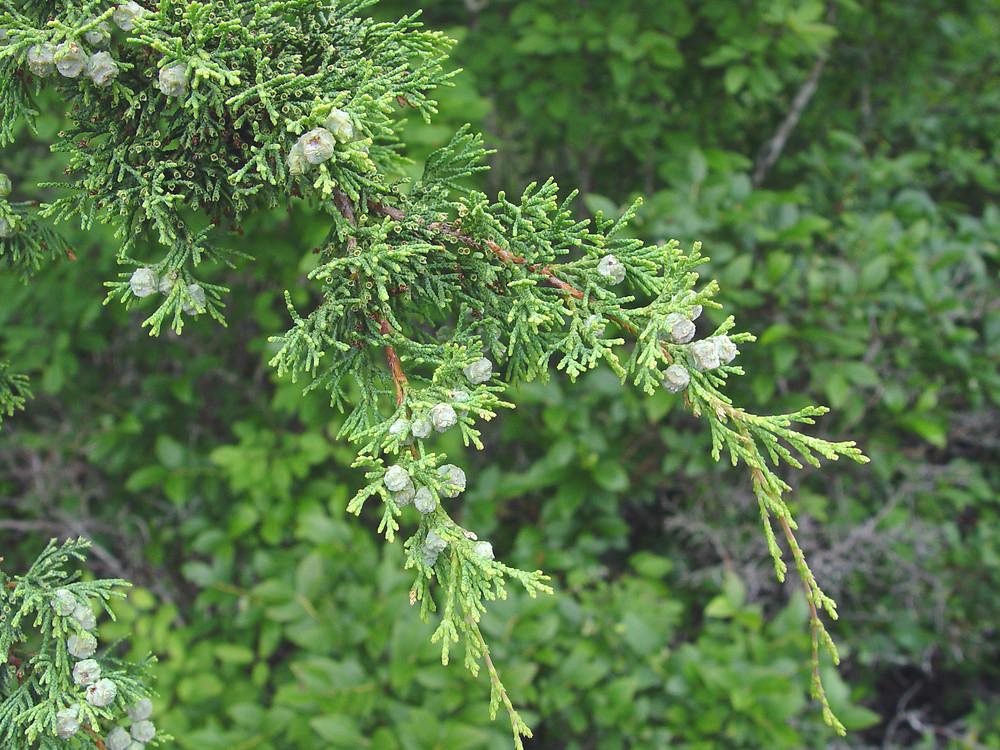 Chamaecyparis thyoides atlantic white cedar go botany atlantic white cedar mightylinksfo