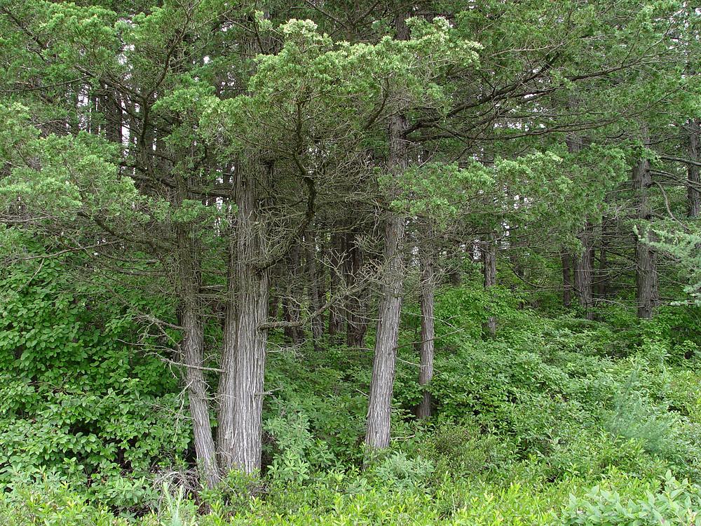 Chamaecyparis thyoides atlantic white cedar go botany