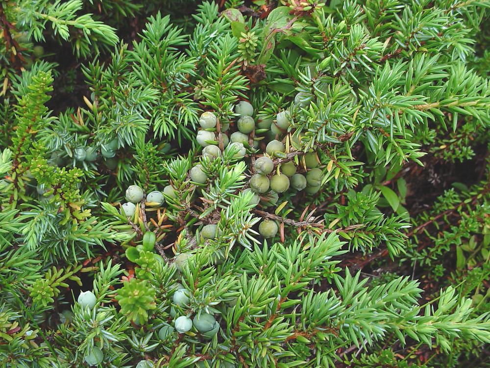 http://newfs.s3.amazonaws.com/taxon-images-1000s1000/Cupressaceae/juniperus-communis-fr-gmittelhauser.jpg