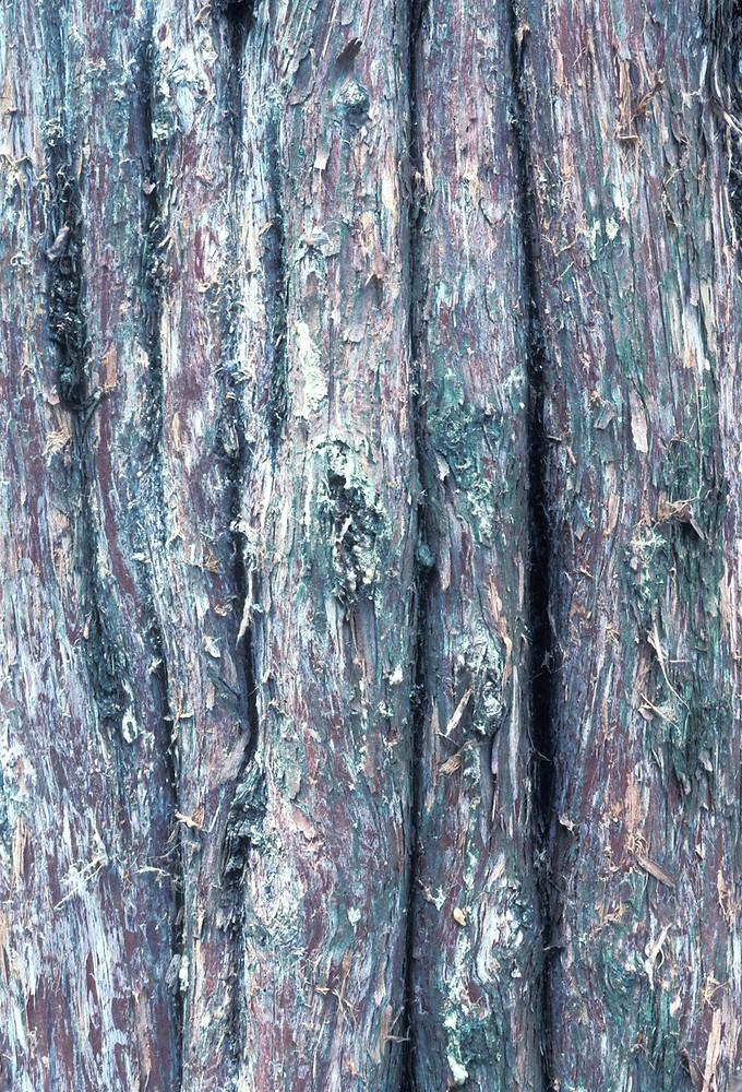 Red Cedar Tree Varieties ~ Juniperus virginiana eastern red cedar go botany