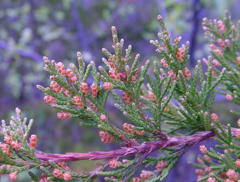 Eastern Red Cedar Flower Juniperus virginiana (...