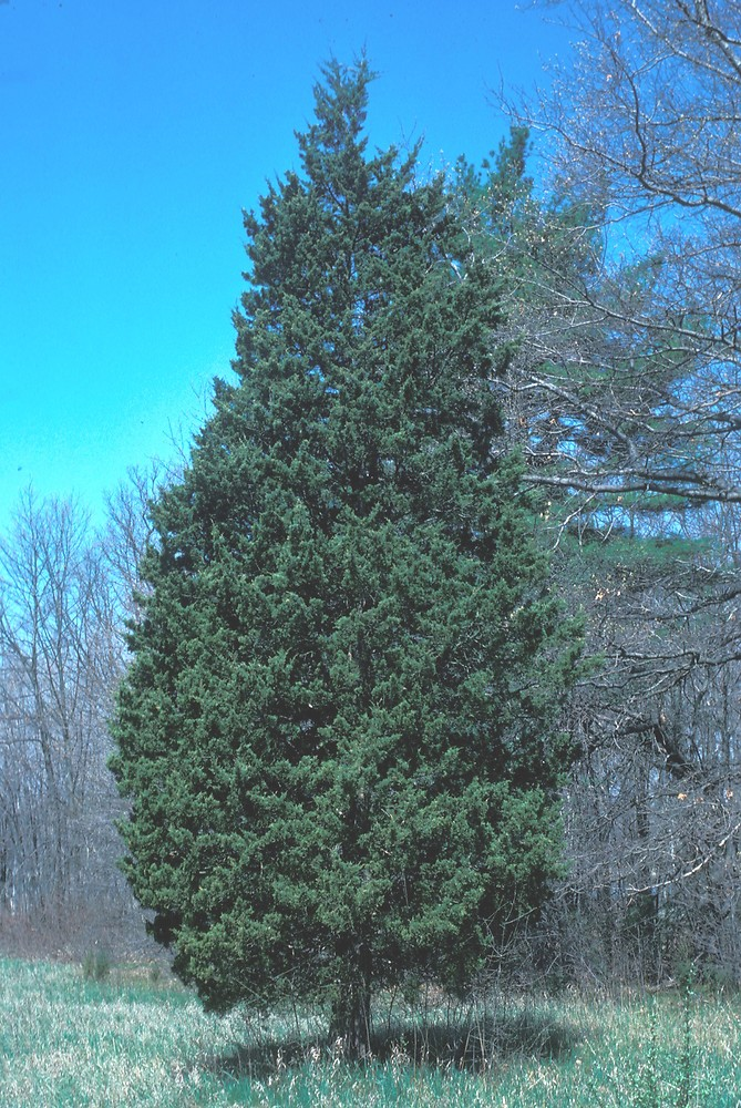 Eastern Red Cedar Varieties ~ Juniperus virginiana eastern red cedar go botany