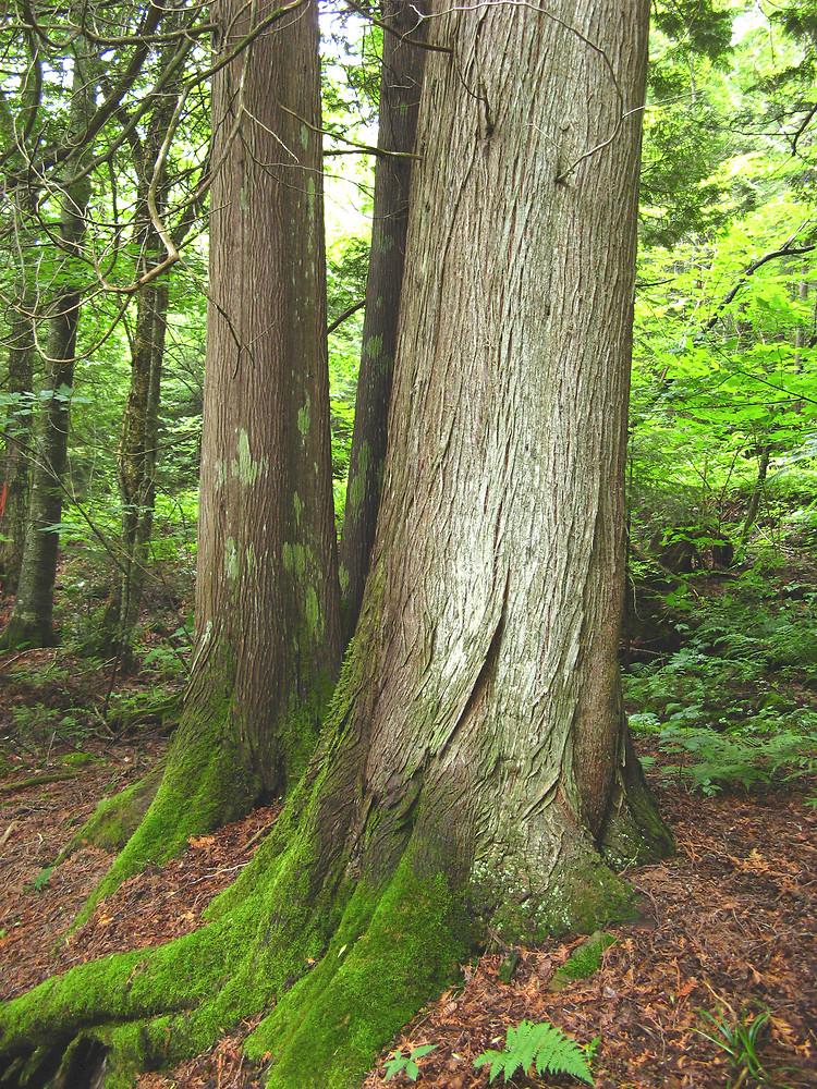 Northern White Cedar ~ Thuja occidentalis northern white cedar go botany