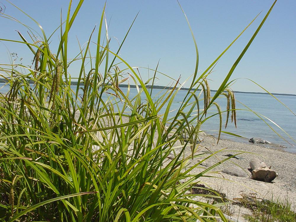 Grass like plants simple key go botany for Grass like flowering plants