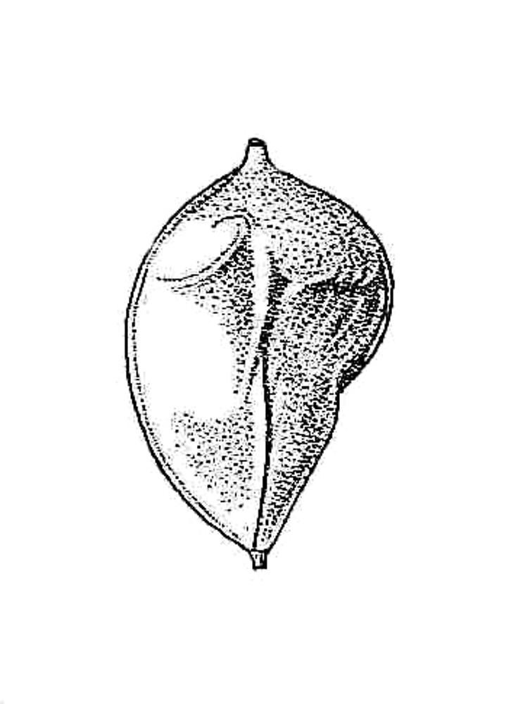 Carex crinita