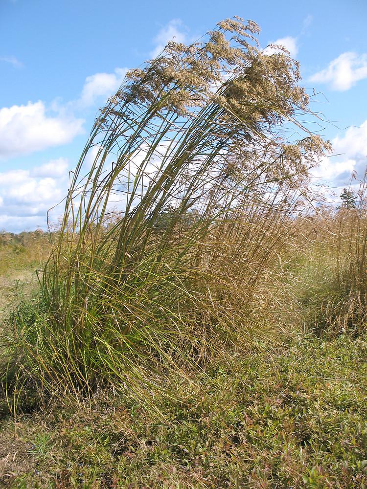 Scirpus cyperinus (common woolsedge, woolgrass): Go Botany