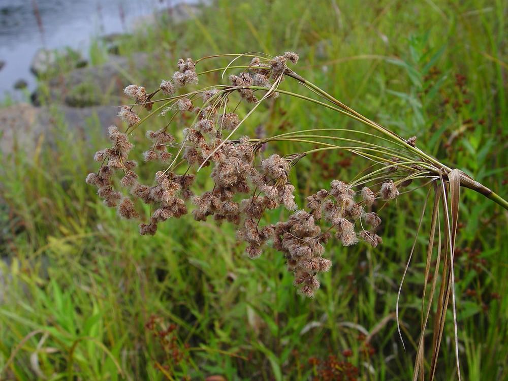 Woolgrass (Scirpus cyperinus) - Plants