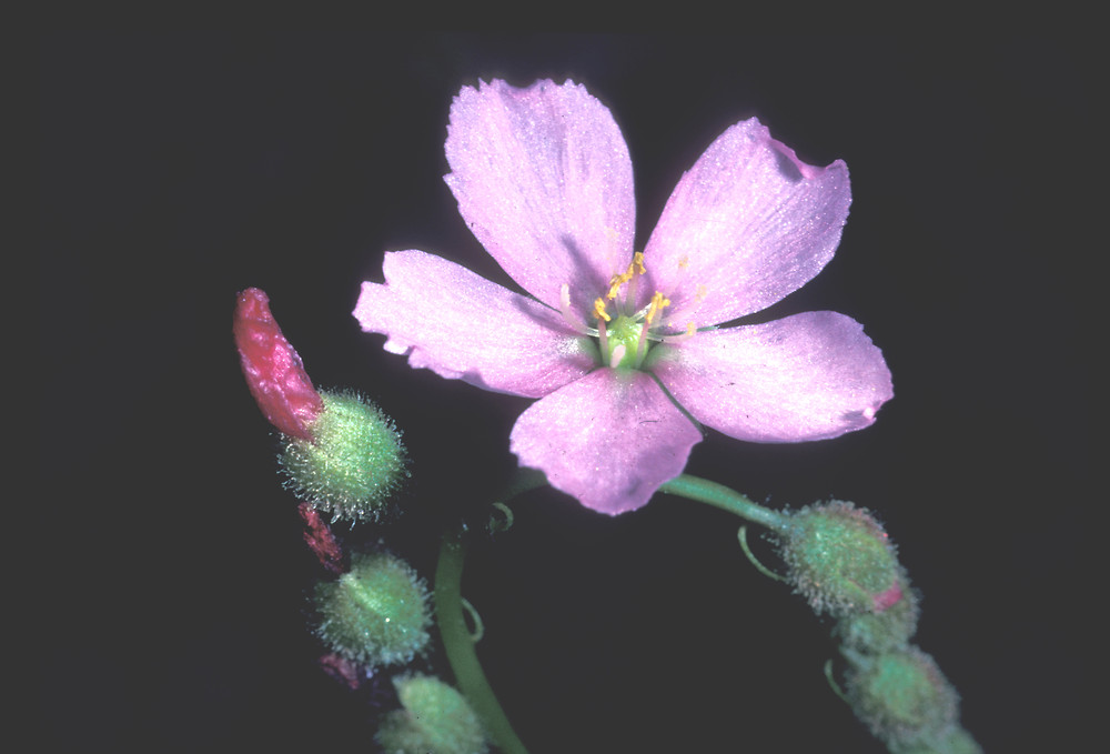 Sundew Flower thread-leaved sundew