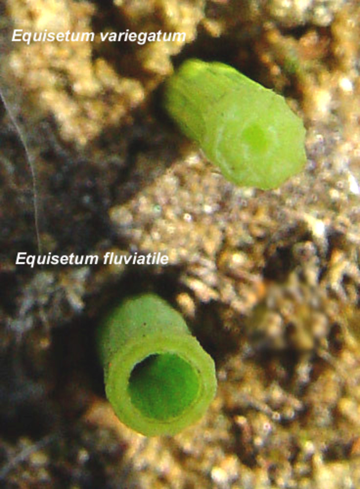 Equisetum variegatum (variegated scouring-rush): Go Botany