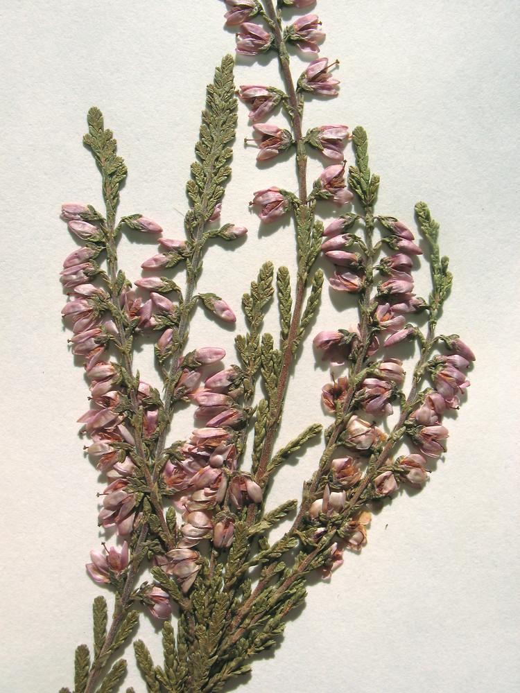 Calluna Vulgaris calluna vulgaris go botany