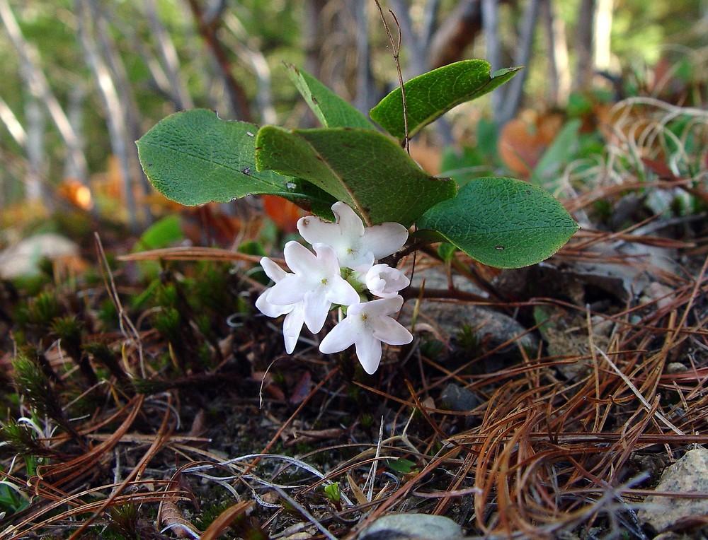 Trailing Arbutus Epigaea repens