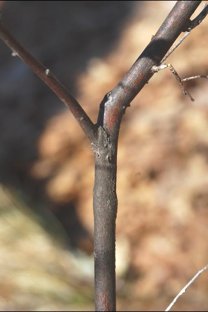 gaylussacia frondosa - photo #27