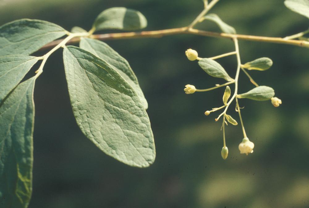 gaylussacia frondosa - photo #18