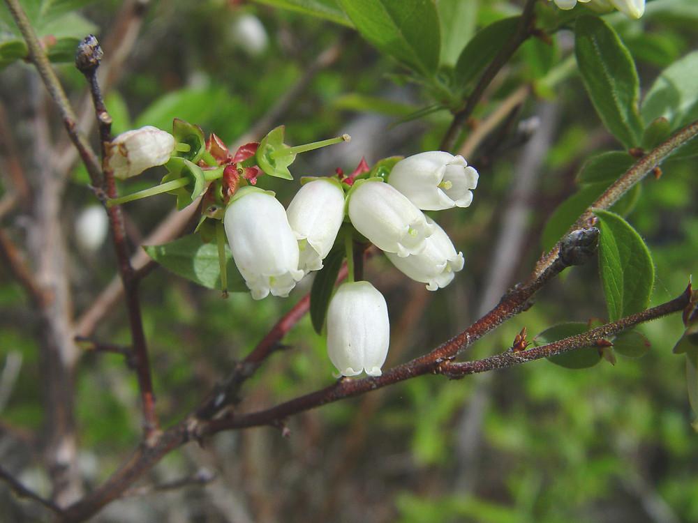 Vaccinium Corymbosum Highbush Blueberry Go Botany