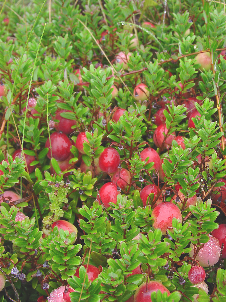 vaccinium macrocarpon large cranberry go botany